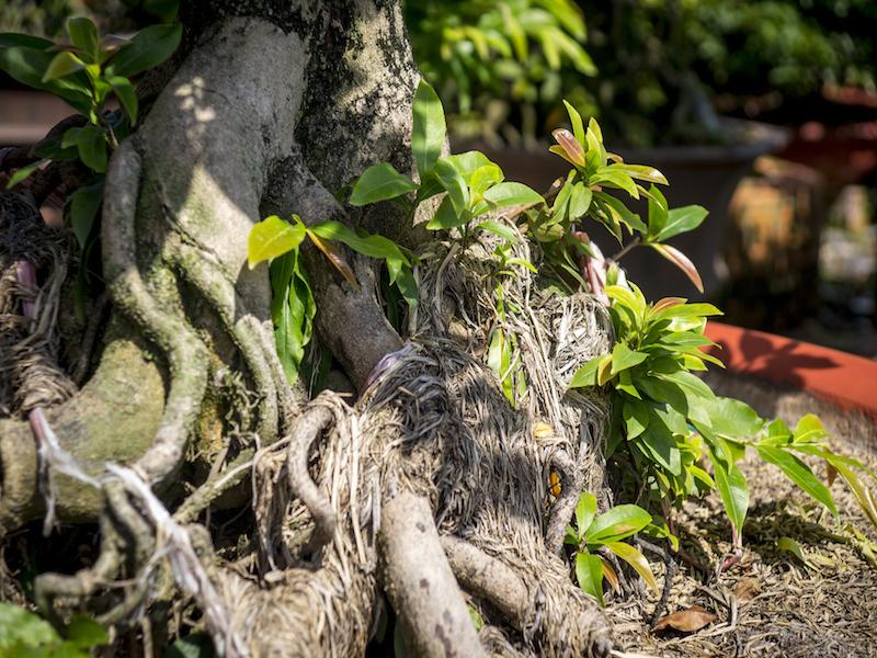 Oi Vietnam - Feb 2015_apricot grower_DSC6448_NT