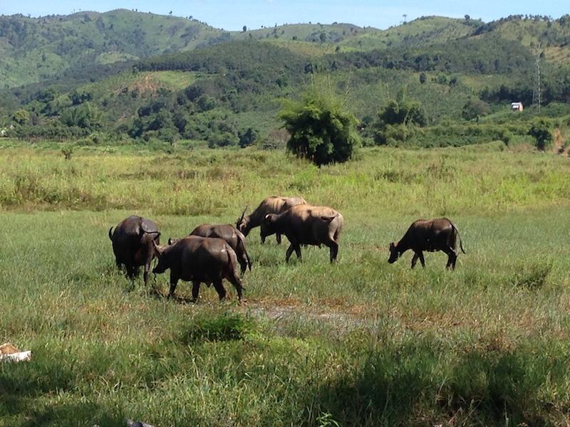 Field with buffalos