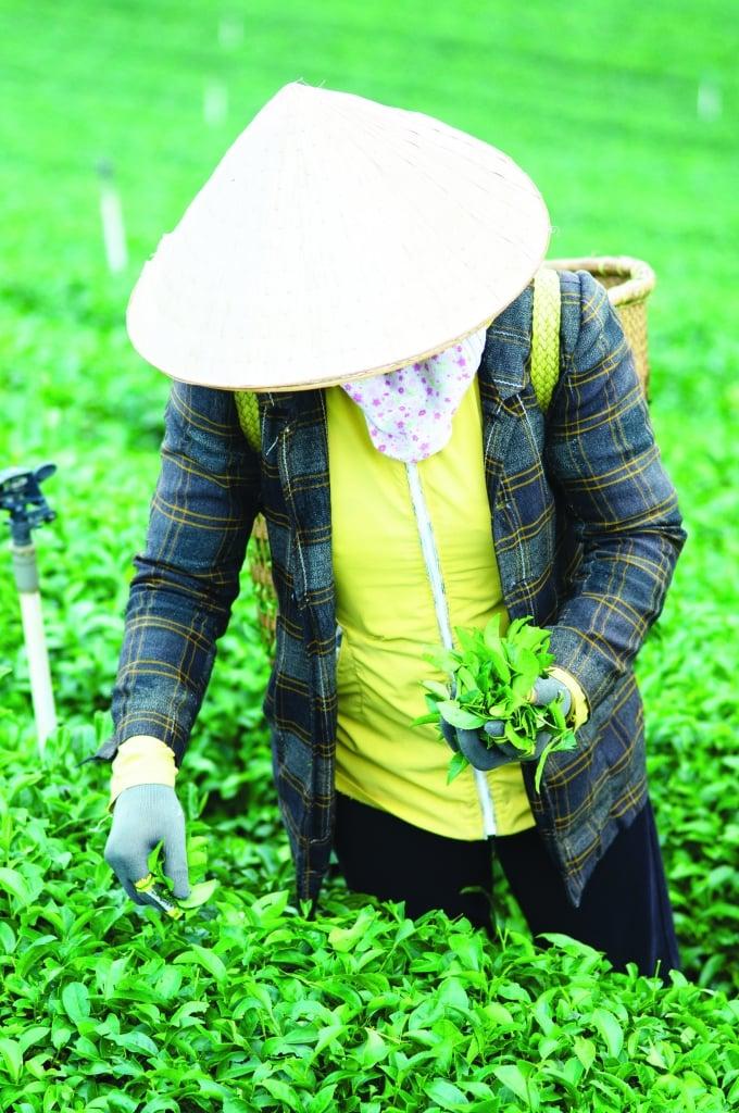 oi_vietnam_-_aug_2014_-pe_baoloc_tea__dsc0079