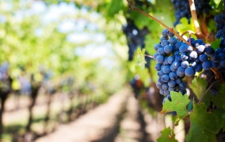 wine-grapes-garden-ultra-hd-wallpaper-2560x1600