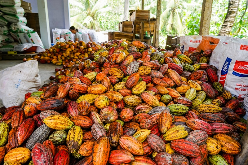 Harvested cacao pods at Kimmy's Chocolate - Image by James Pham-15