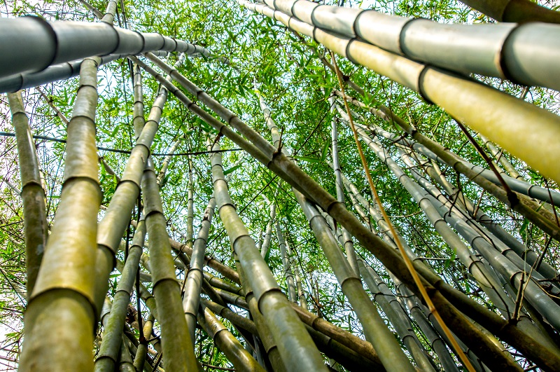 Oi Vietnam-May2015_bamboo__DSC9518-Ngoc Tran