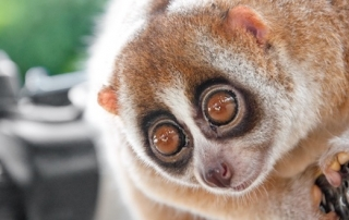 11030501 - a picture of a cute slow loris monkey animal in nature
