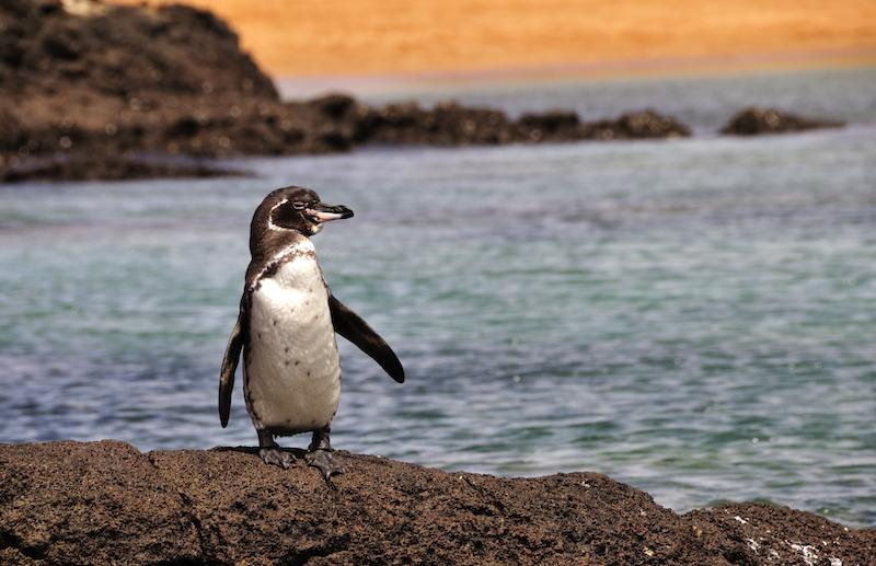 9.-iStock_000006427705-Galapagos-penguin-WP