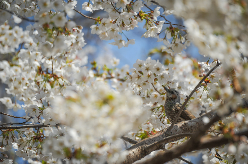 bird and bee in cherry blossoms 1