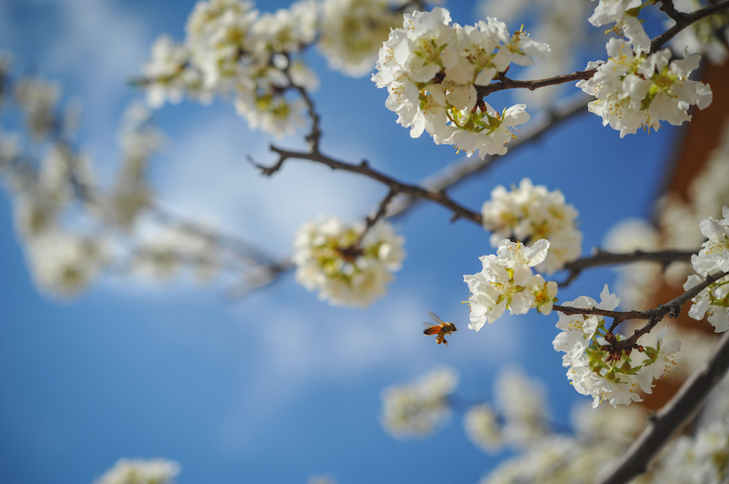 bird and bee in cherry blossoms 2